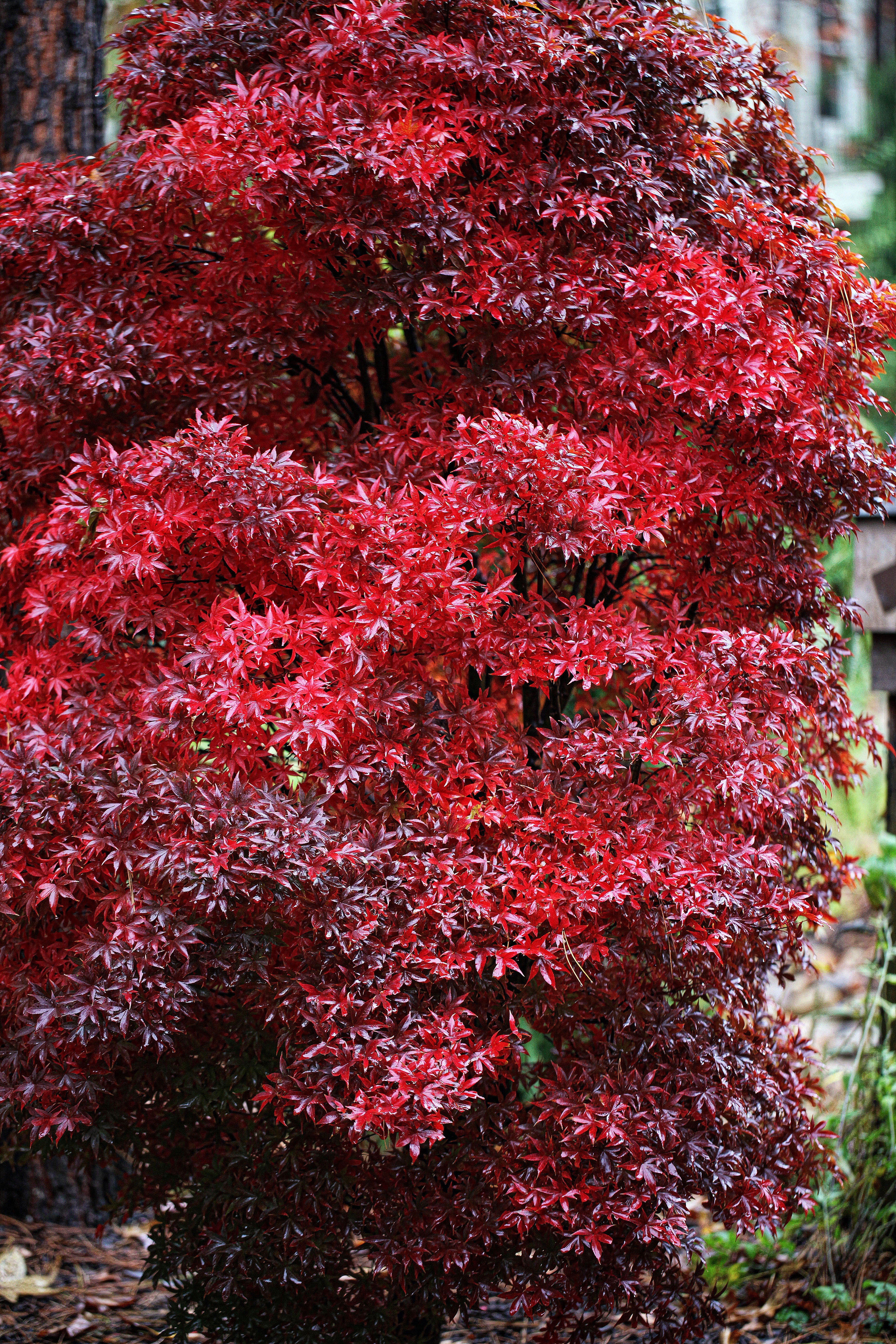 How to care for a fern leaf japanese maple - Fall Foliage