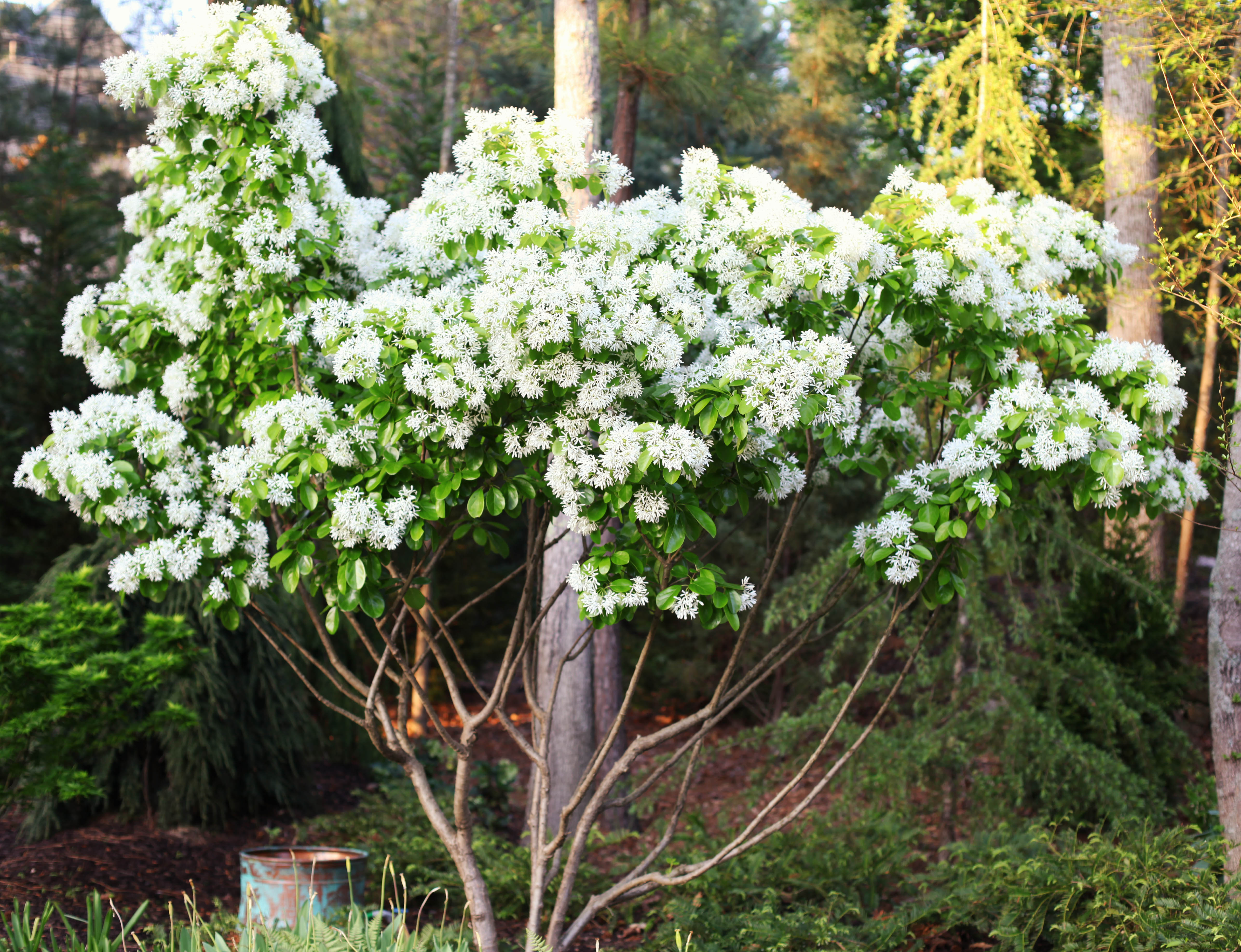The graceful gardener native trees my mightylinksfo Image collections