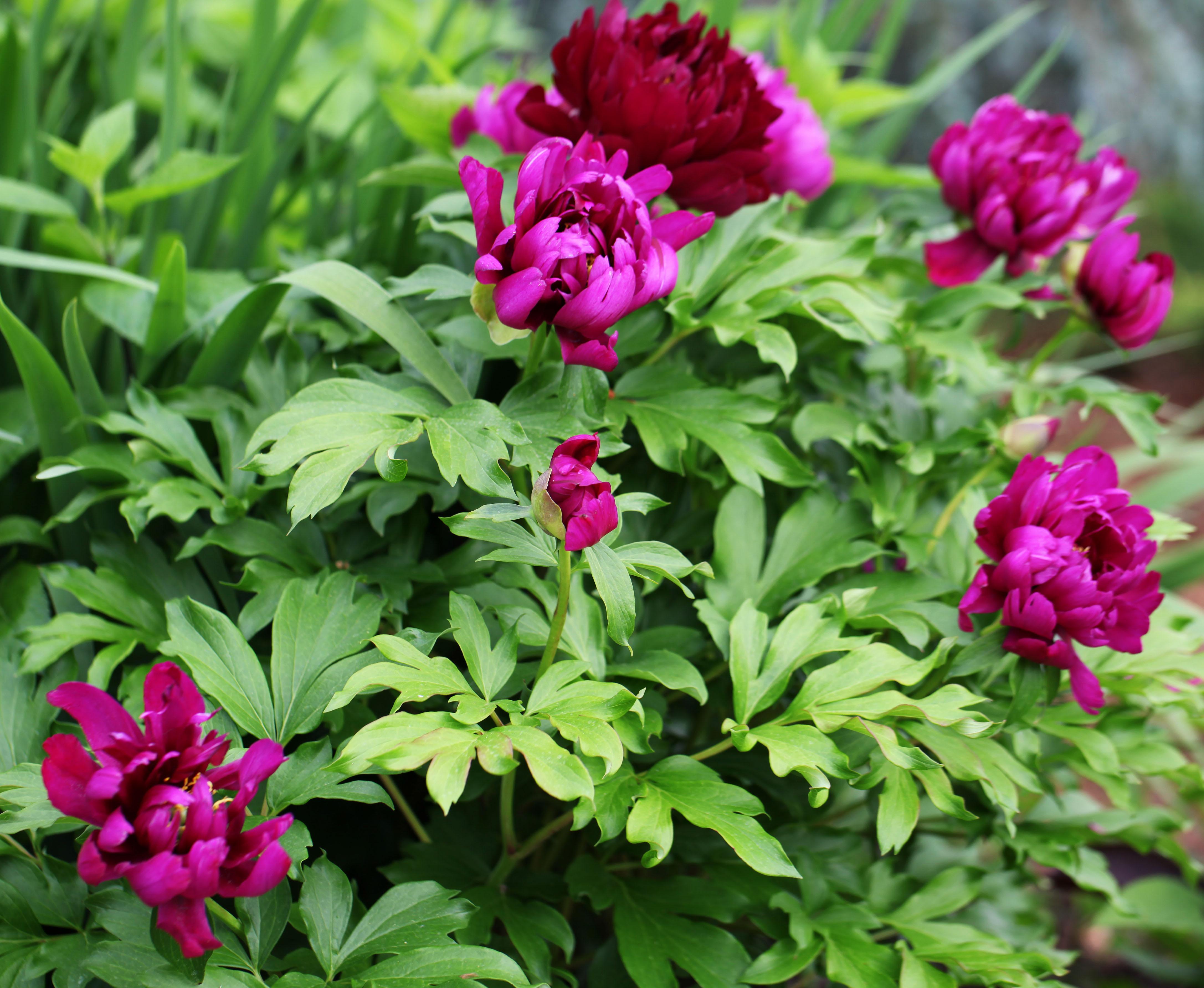 The Graceful Gardener Voluptuous Peonies In My Garden