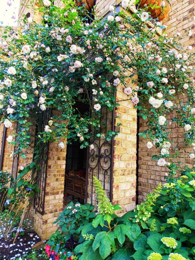 Роза плетистая нью доун отзывы 3