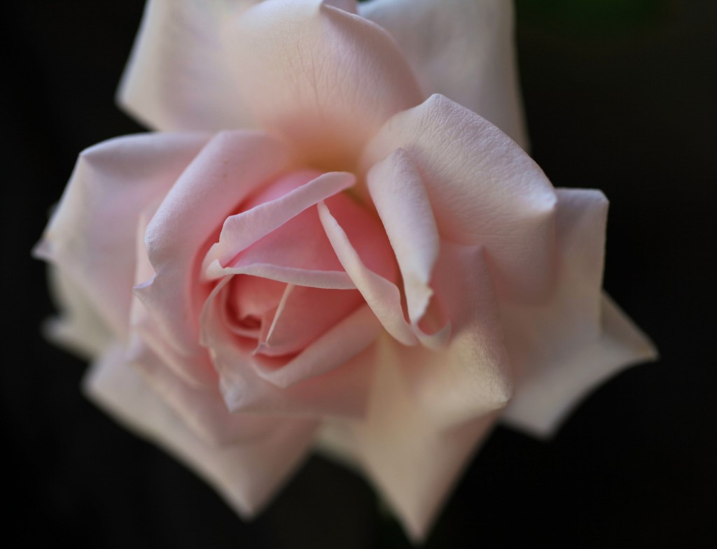 Bourbon rose 'Mystic Beauty'
