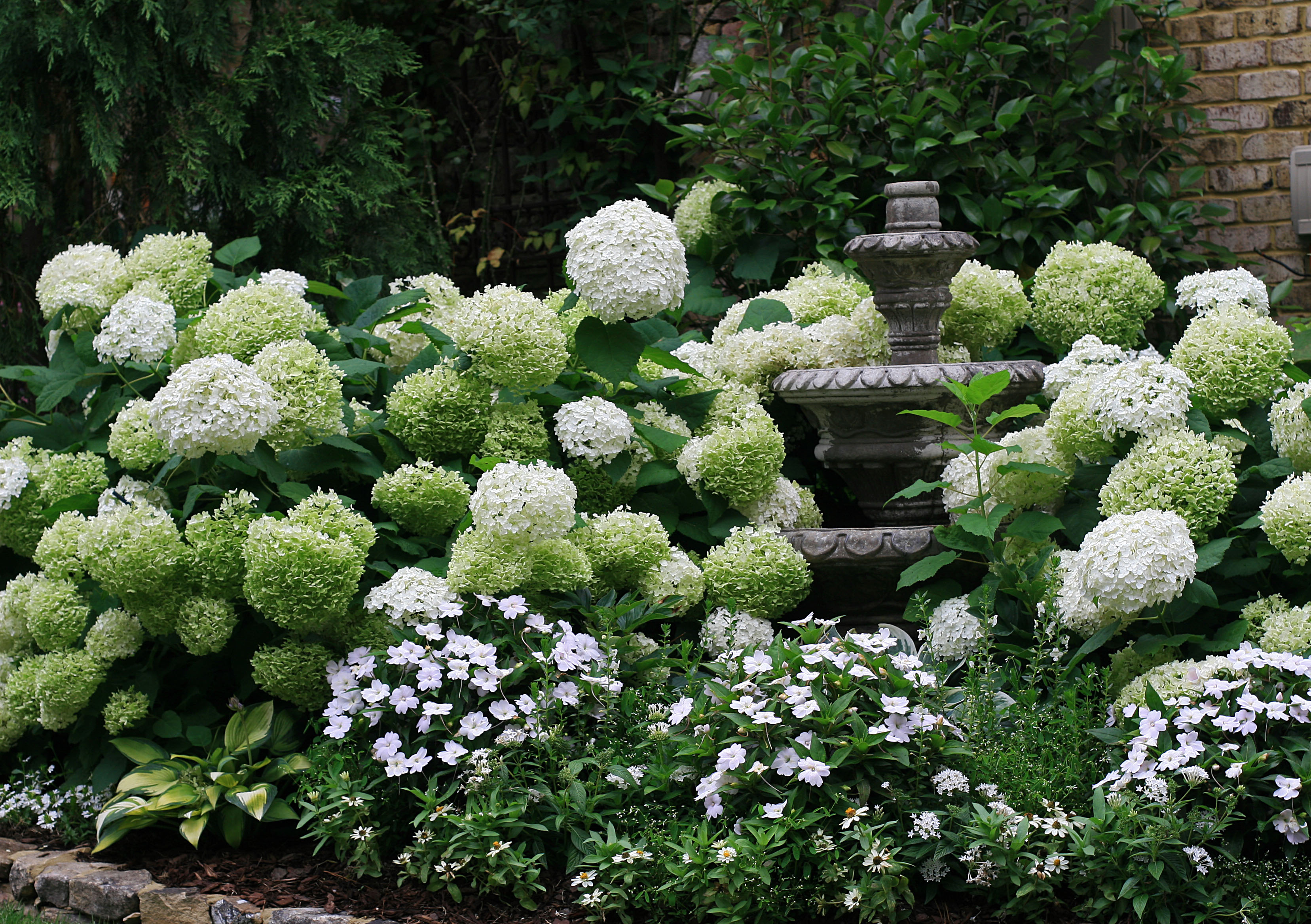 Annabelle hydrangea | The Graceful Gardener