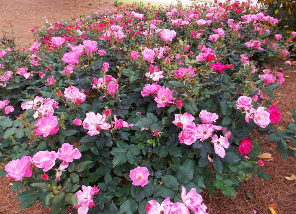 The Graceful Gardener » Grande Dame Rose