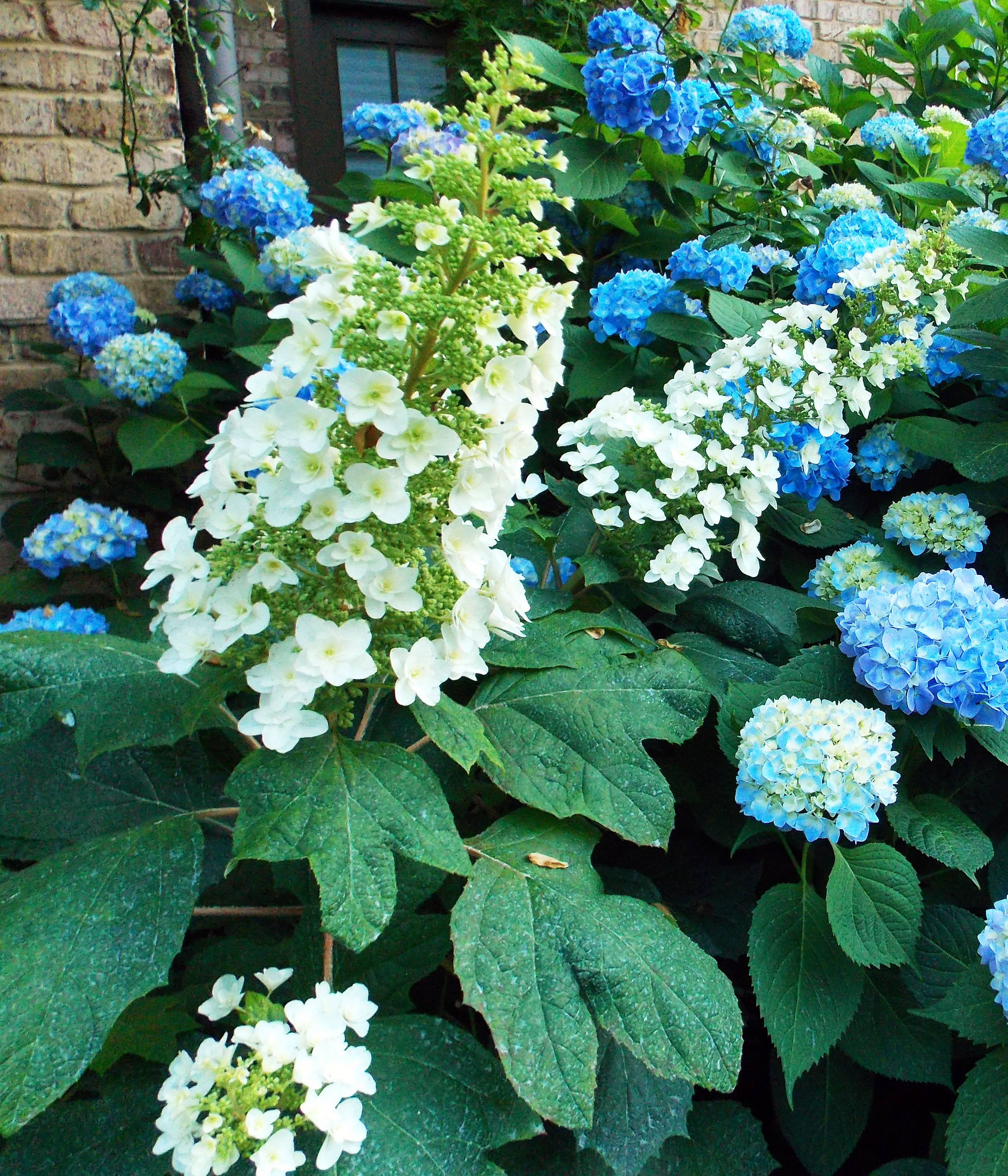 The Graceful Gardener Glorious Hydrangeas In My Garden