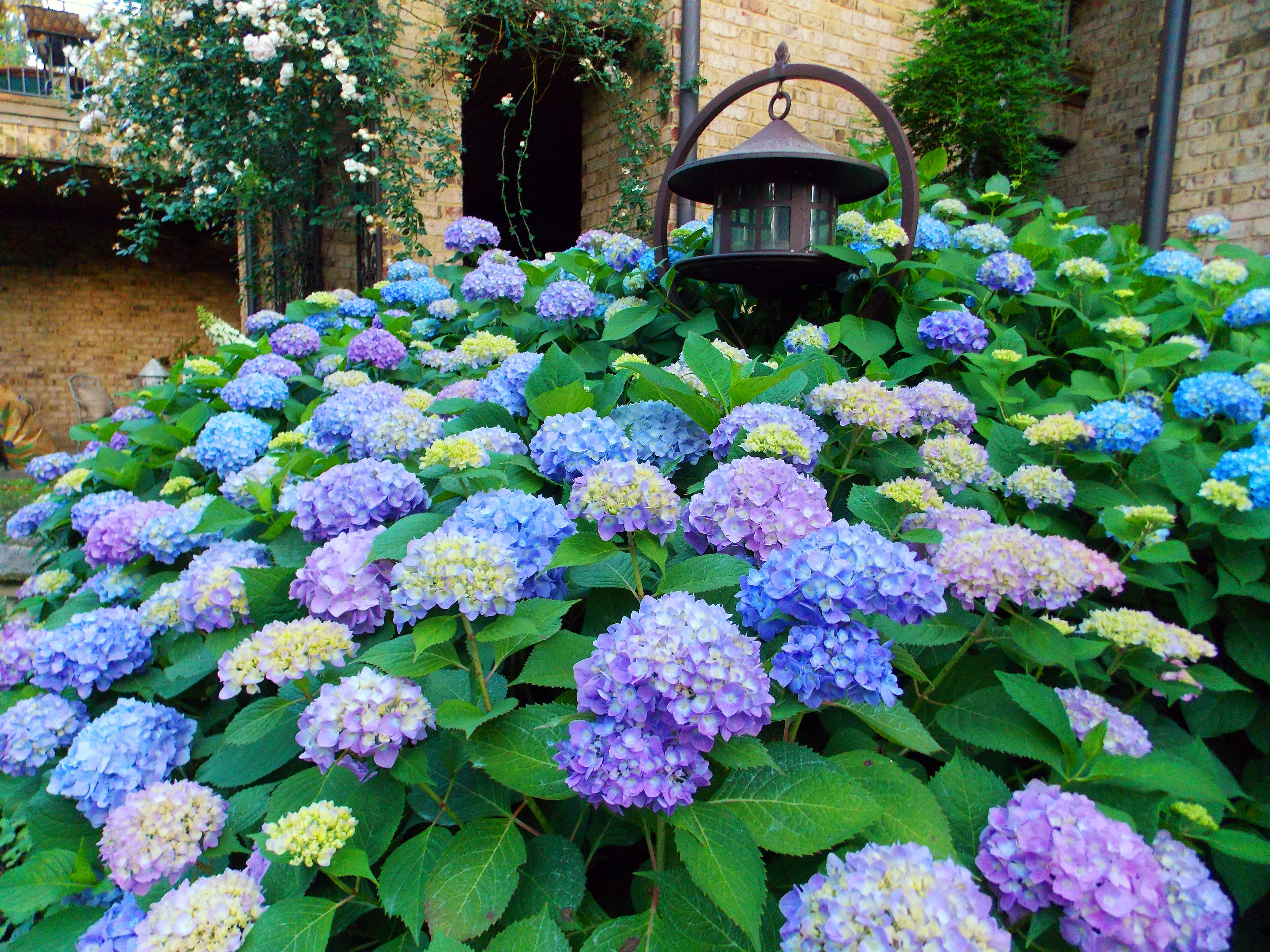 The graceful gardener glorious hydrangeas in my garden - Caring hydrangea garden ...