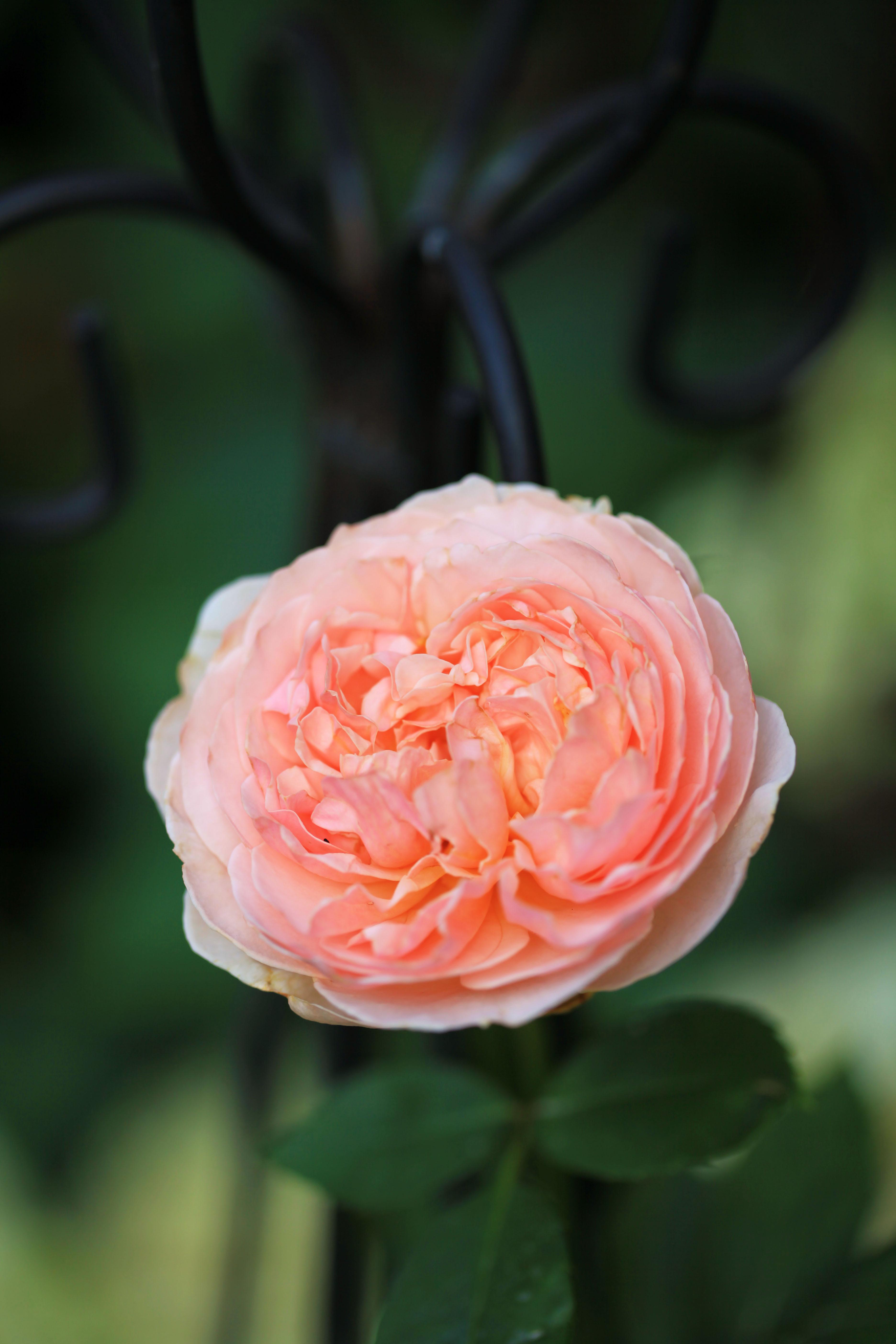 david austin evelyn rose the graceful gardener. Black Bedroom Furniture Sets. Home Design Ideas