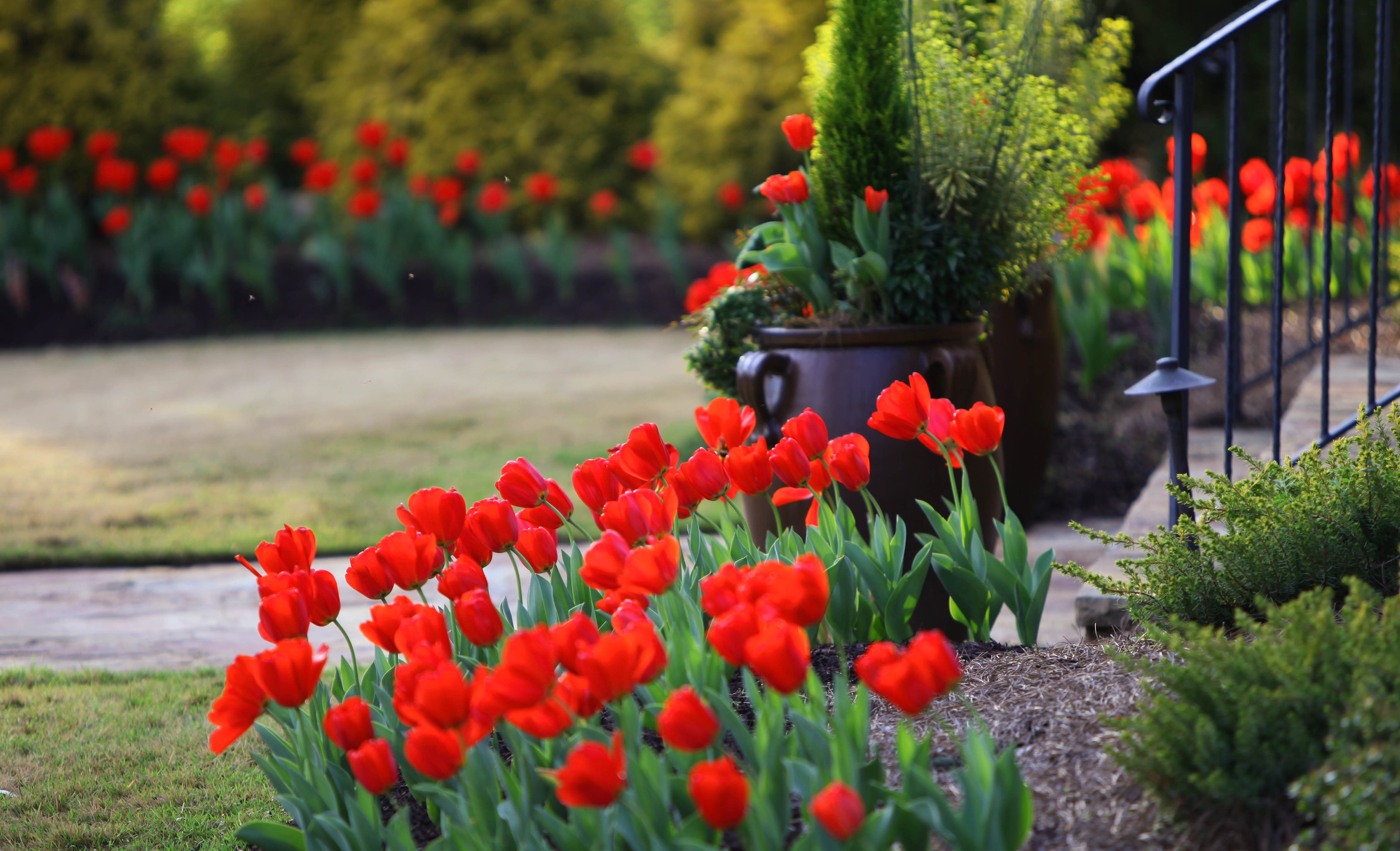 Front yard island beds with red tulips.