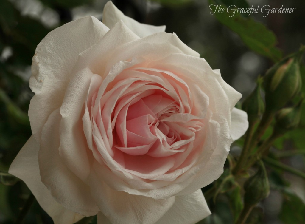 'Mystic Beauty' Bourbon rose