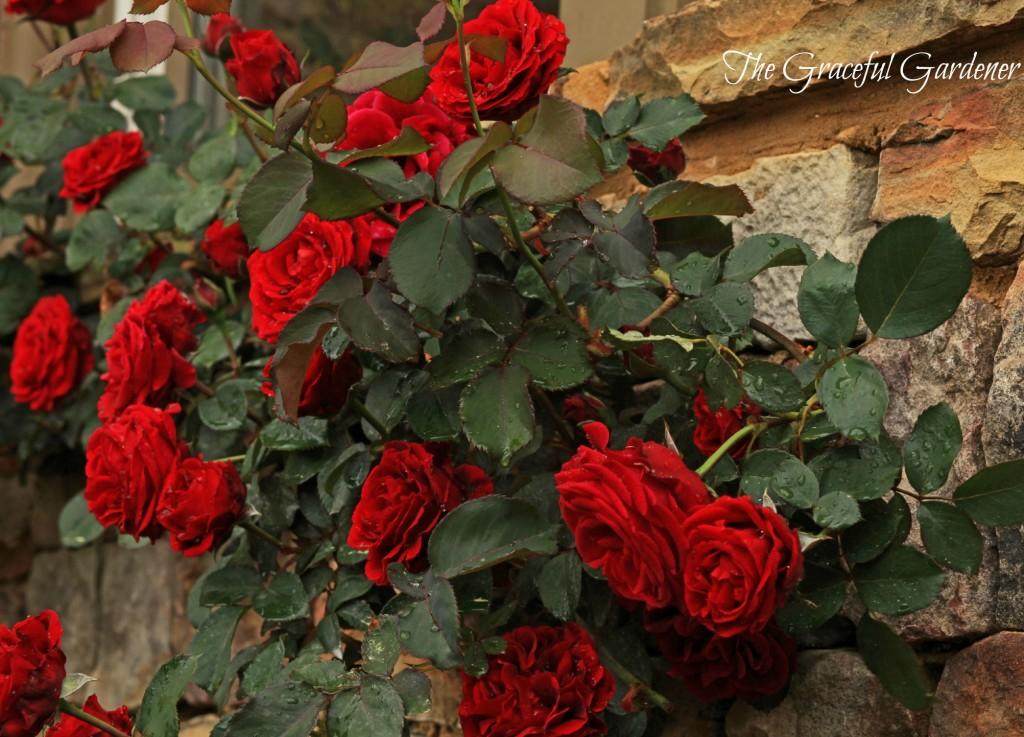 Climbing rose 'Don Juan'