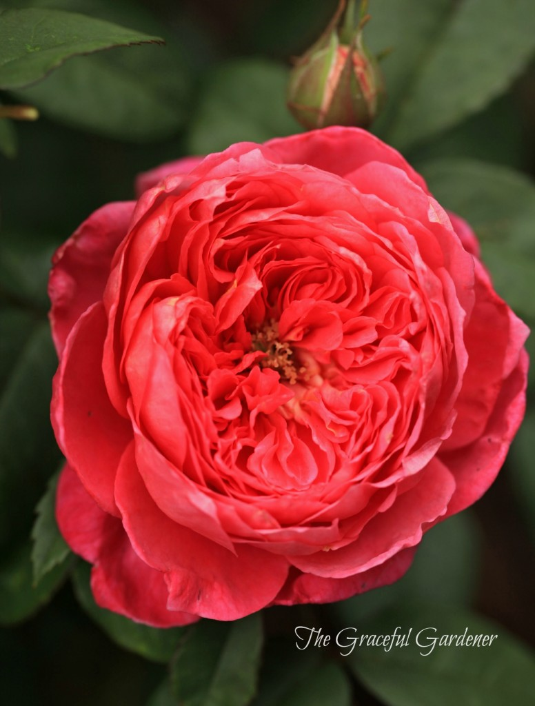 David Austin 'Benjamin Britten' shrub rose