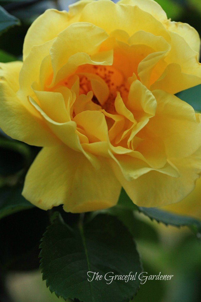 Climbing rose 'Golden Gate' (Kordes)