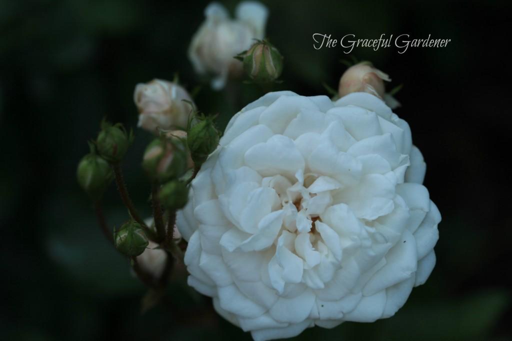 'Marie Pavie' Polyantha rose