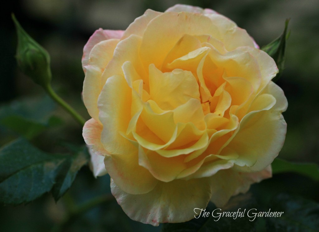 Climbing rose 'Moonlight' (Kordes)