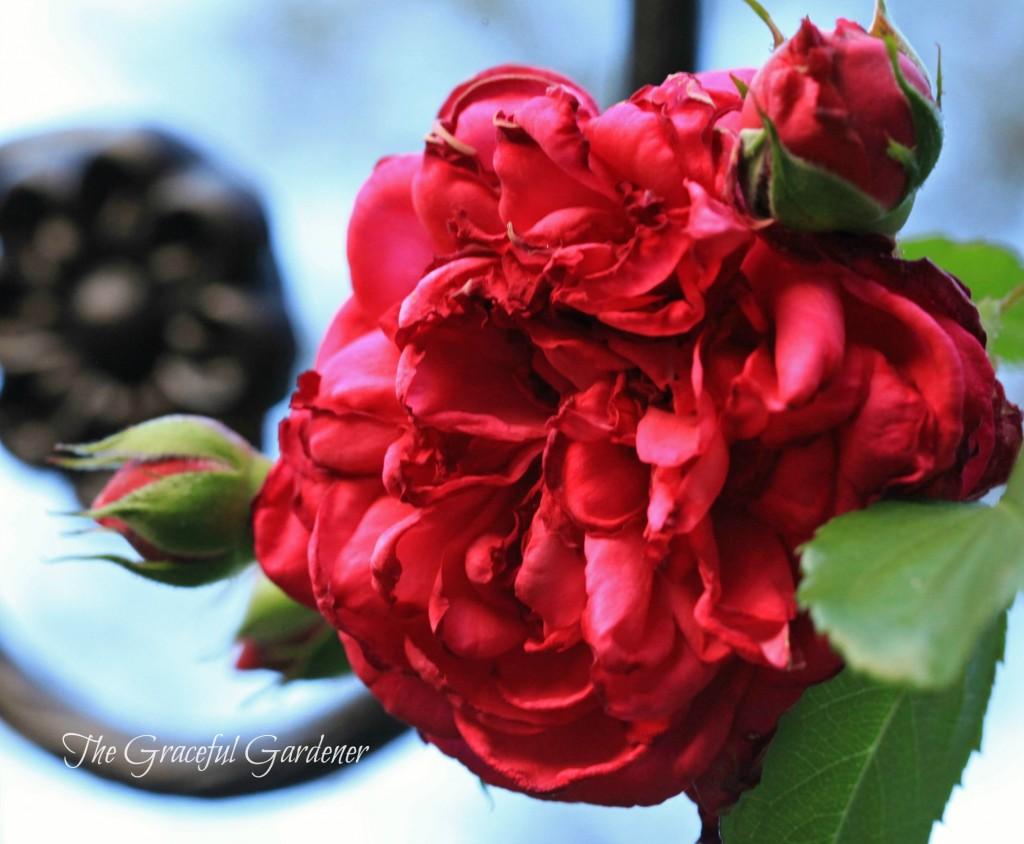 Kordes Climbing rose 'Laguna'