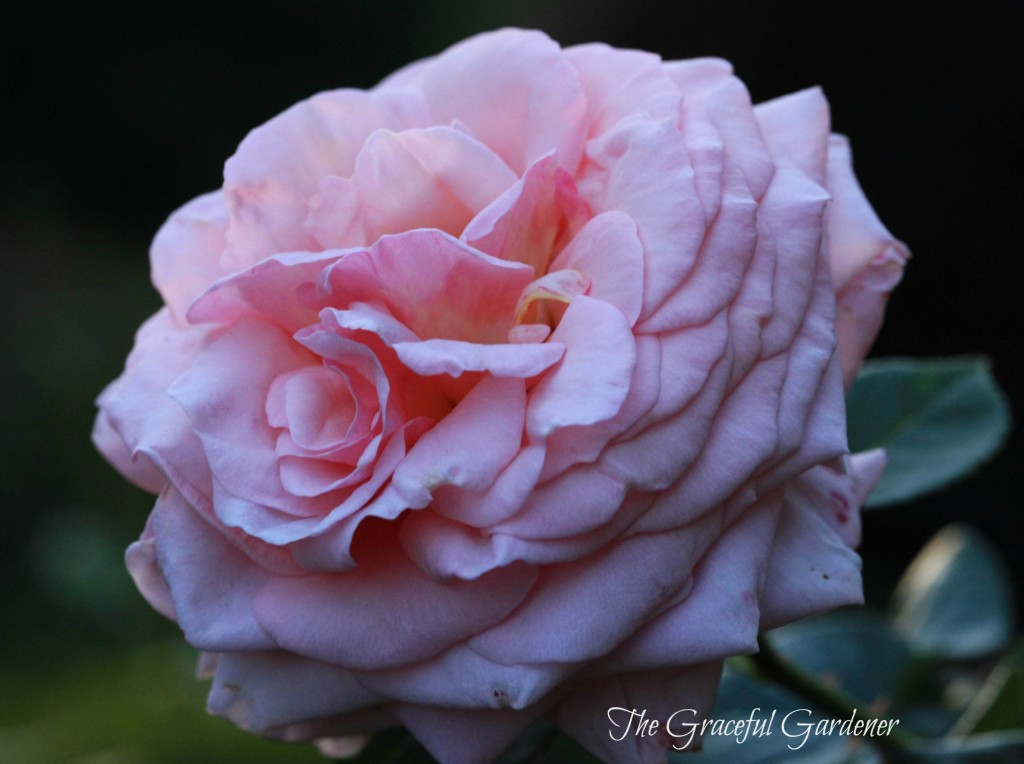 Climbing rose 'Lady Ashe'