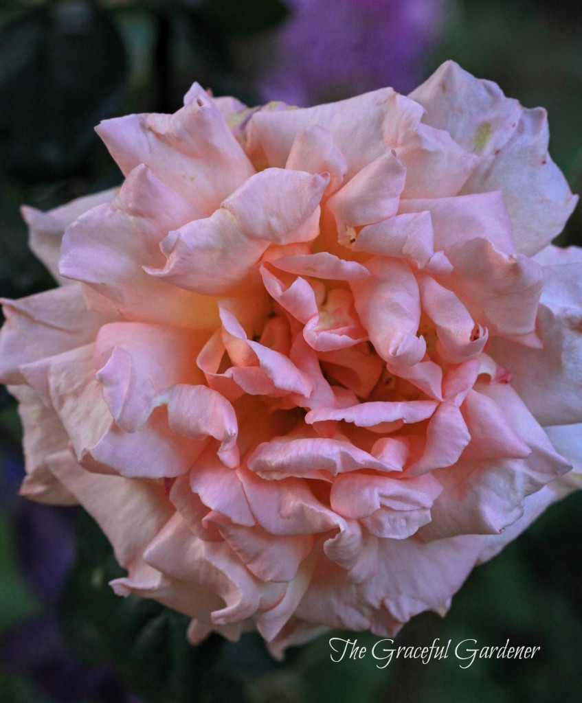 'Compassion' climbing rose in full bloom