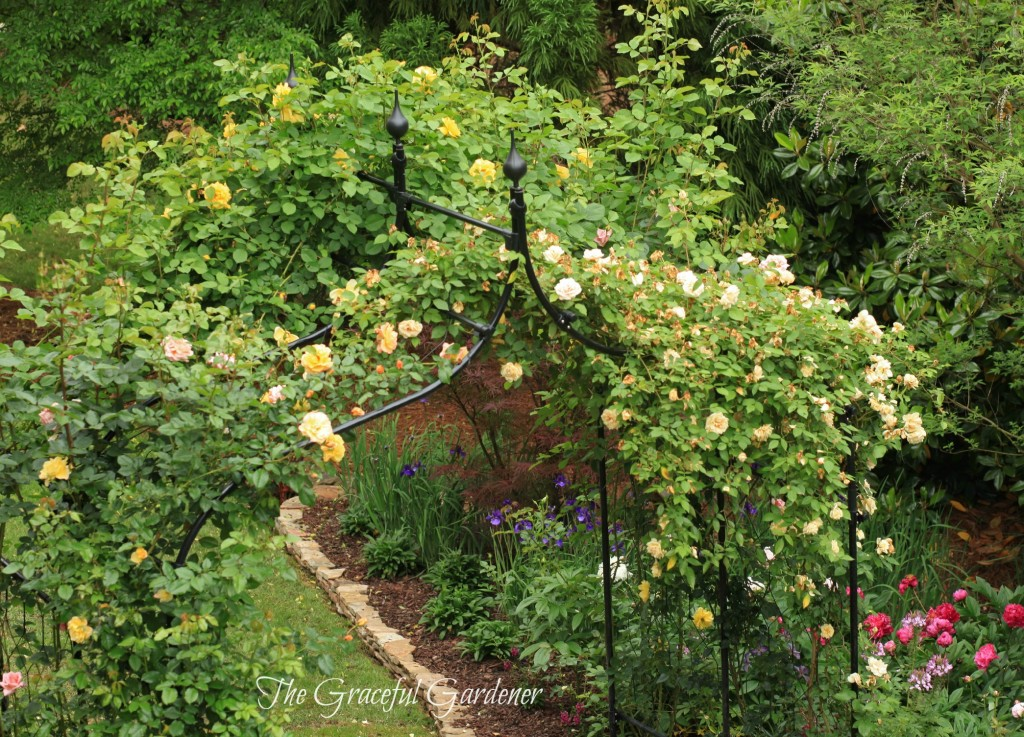 Double arch planted with climbing roses Rev d'Or and Kordes 'Golden Gate and 'Moonlight'.