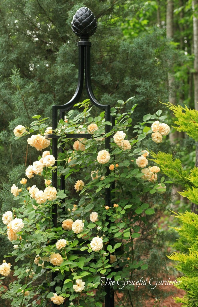 Hybrid Musk rose 'Buff Beauty' gracing one of my three obelisks.