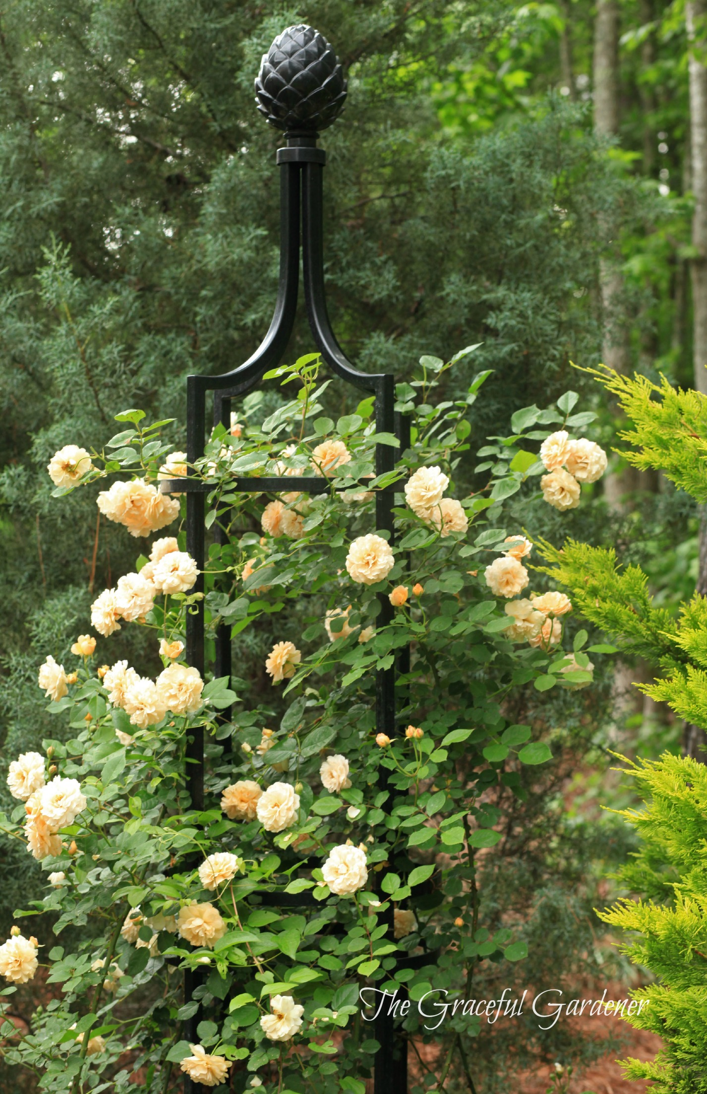 the graceful gardener growing my roses up up and away. Black Bedroom Furniture Sets. Home Design Ideas