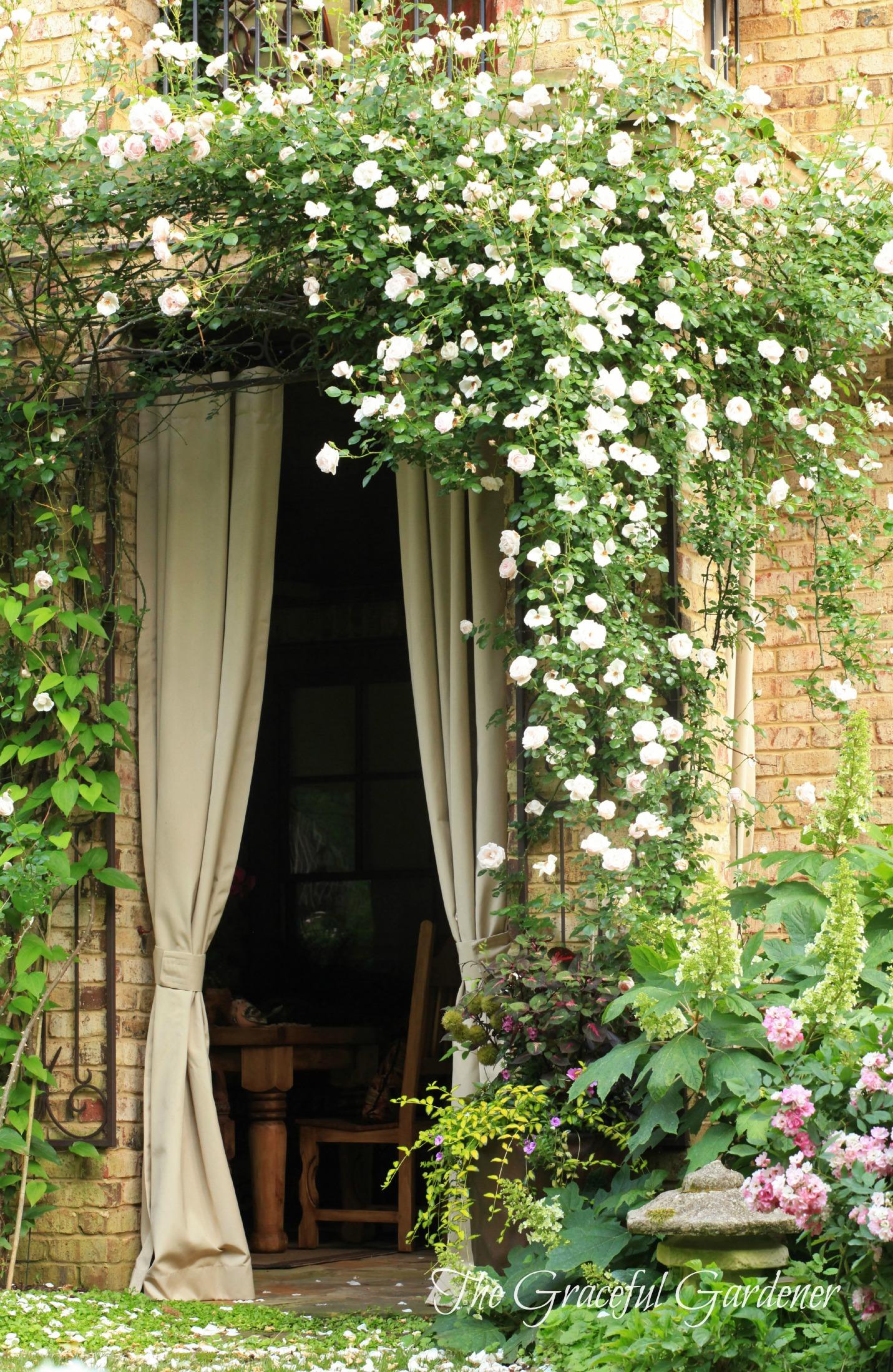 The graceful gardener don juan climbing rose - Climbing rose trellis ...