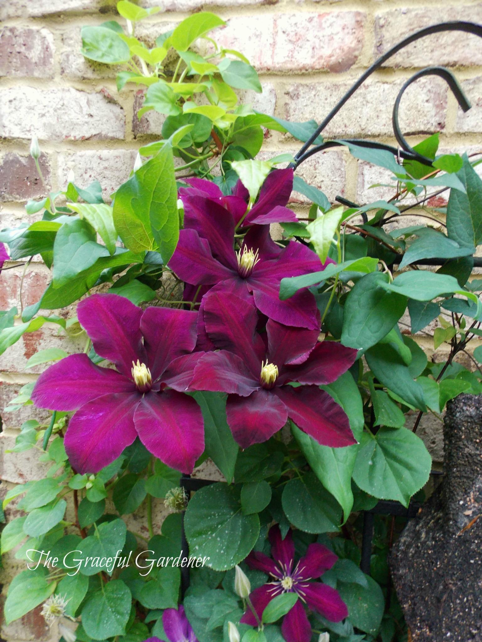 The graceful gardener captivating clematis in my garden - Clematis viticella ...