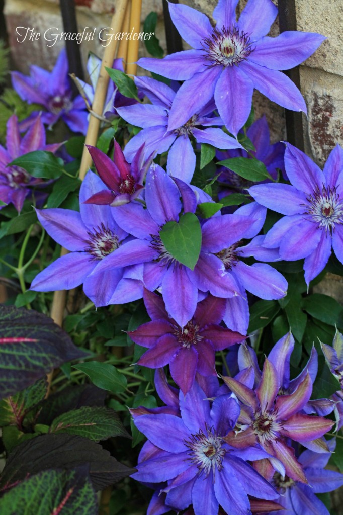 Clematis x 'Starry Nights'