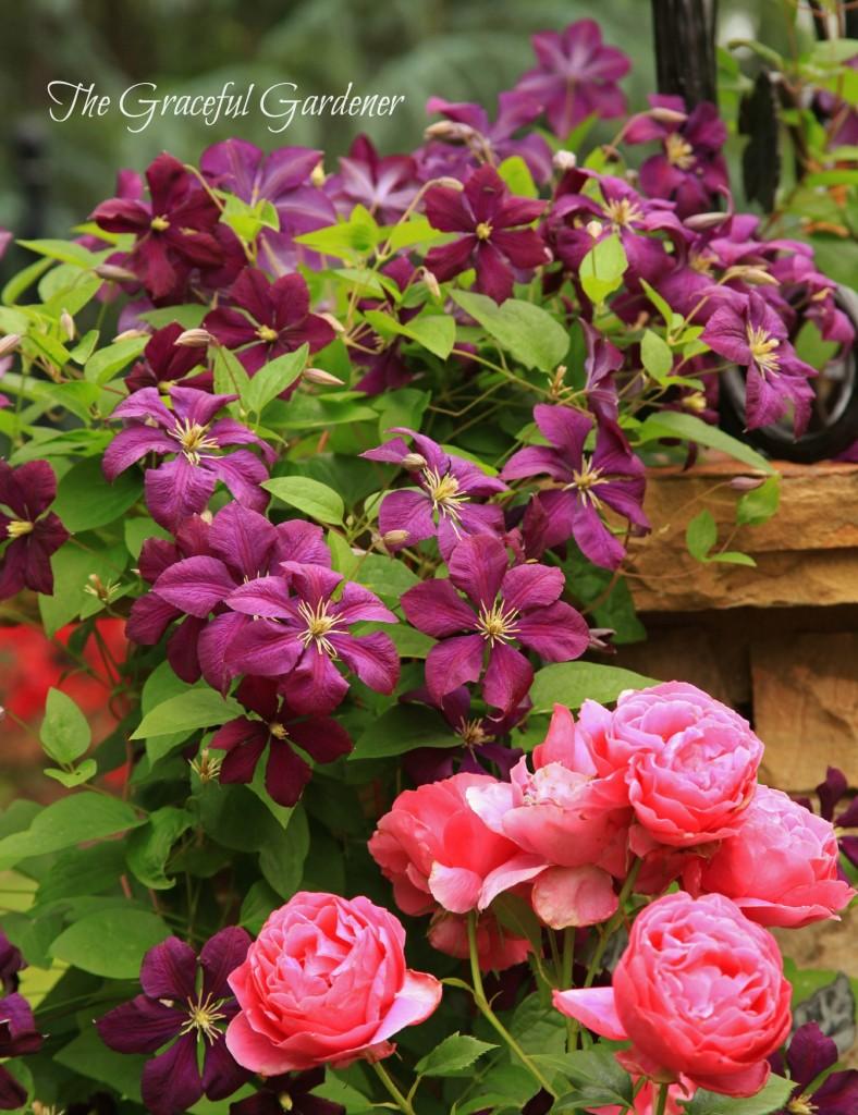 C. viticella 'Etoile Violette' and 'Grande Dame rose