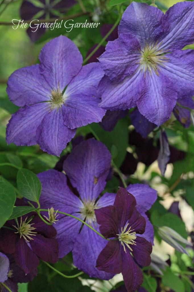 C. 'Victoria' and C. viticella 'Etoile Violette'