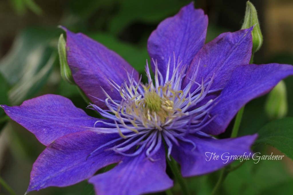 "Large flowering clematis ""Crystal Fountain'"