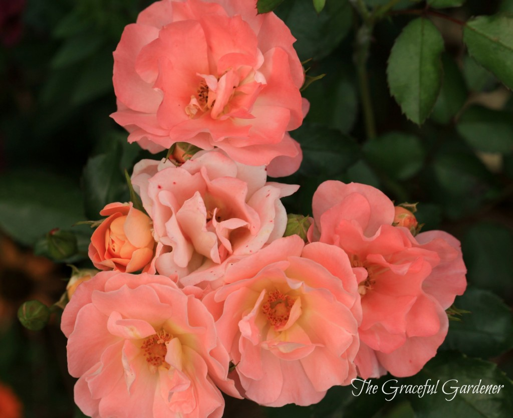 'Peach Drift' rose