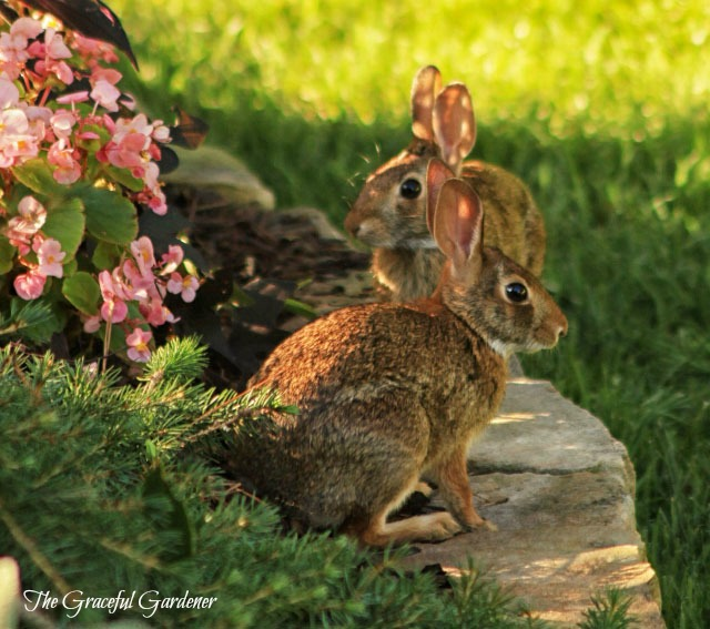 Bunnies in my garden. They loved my begonias!