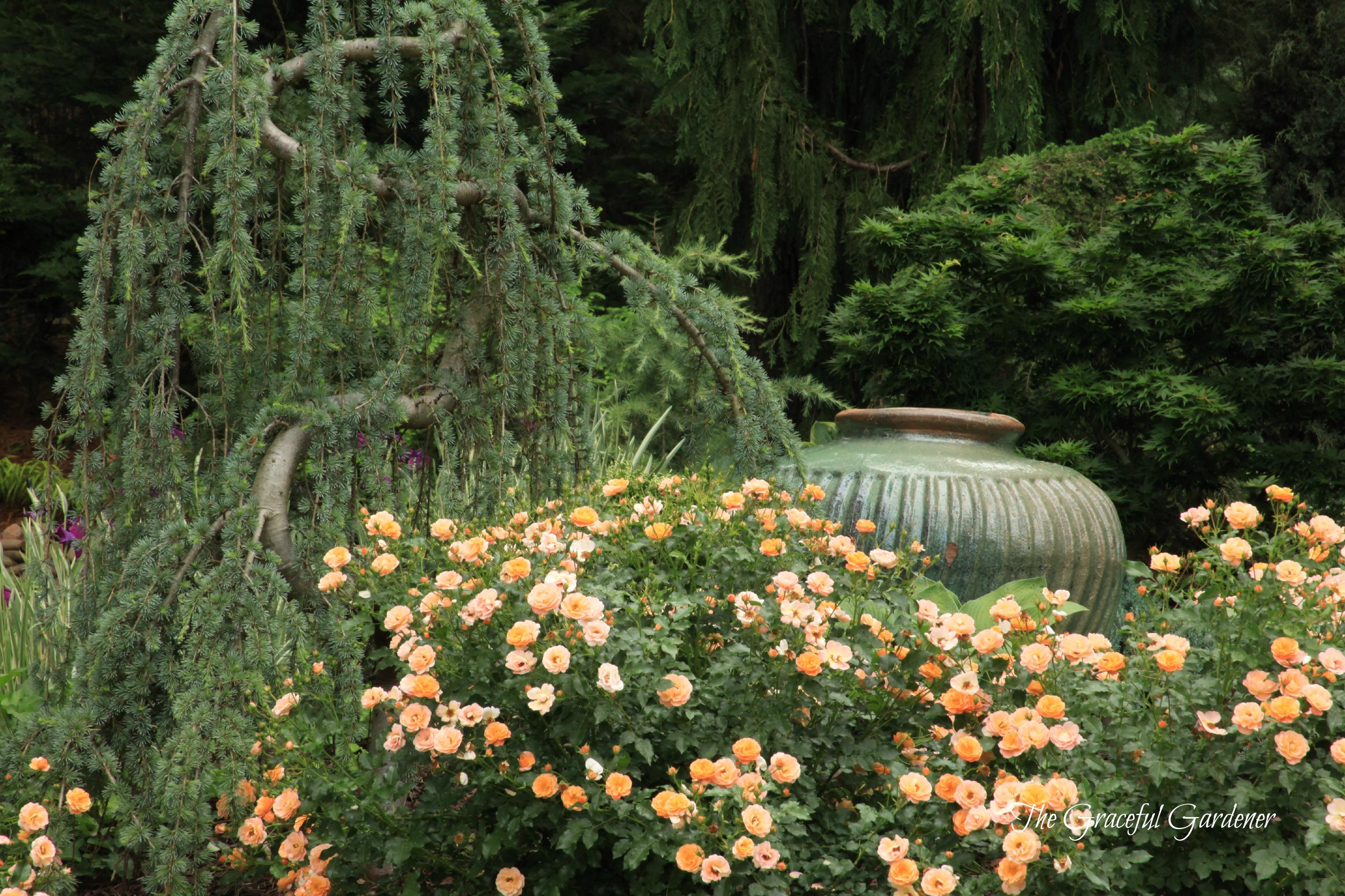 Amber Flower Carpet Rose