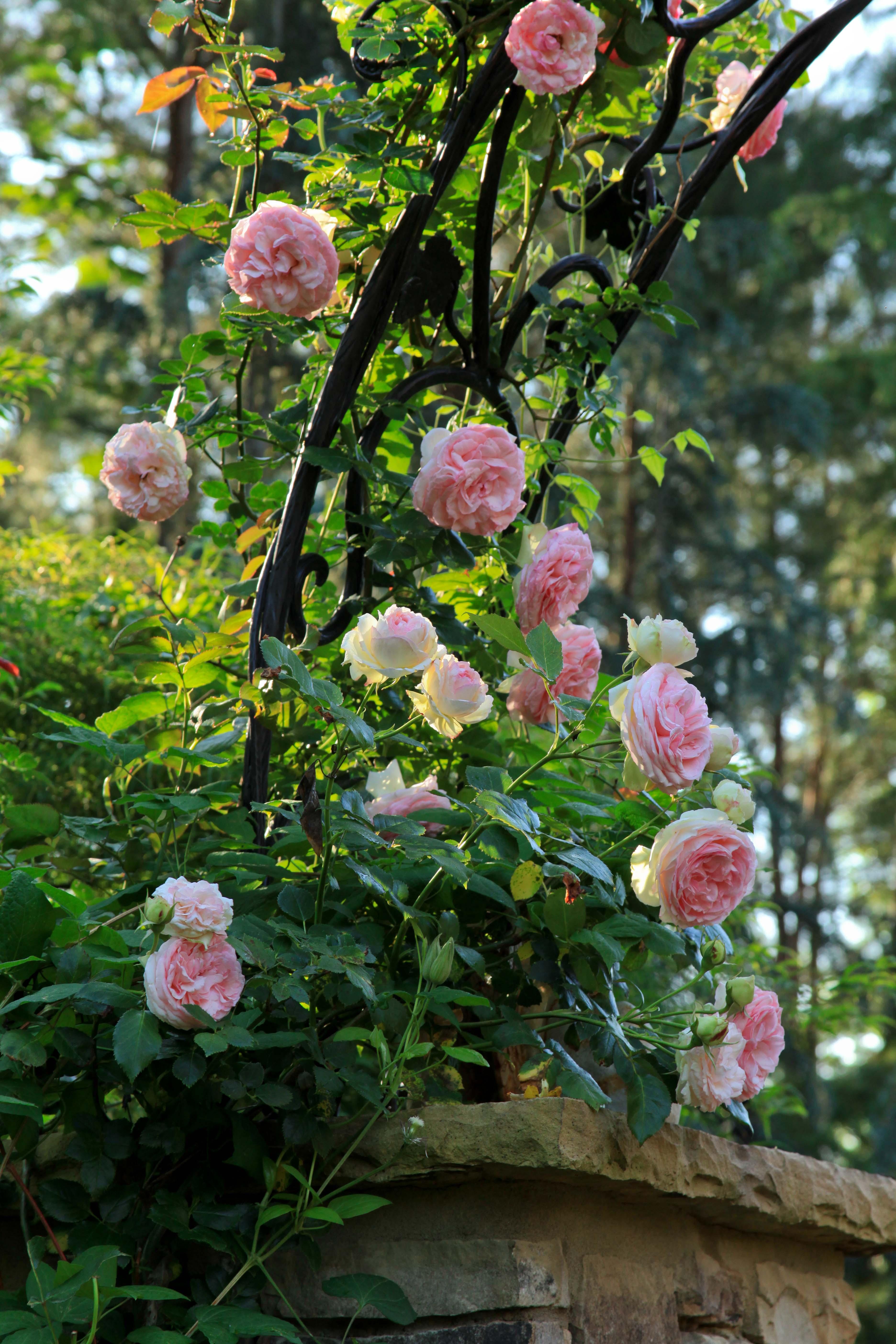 the graceful gardener eden rose autos post. Black Bedroom Furniture Sets. Home Design Ideas