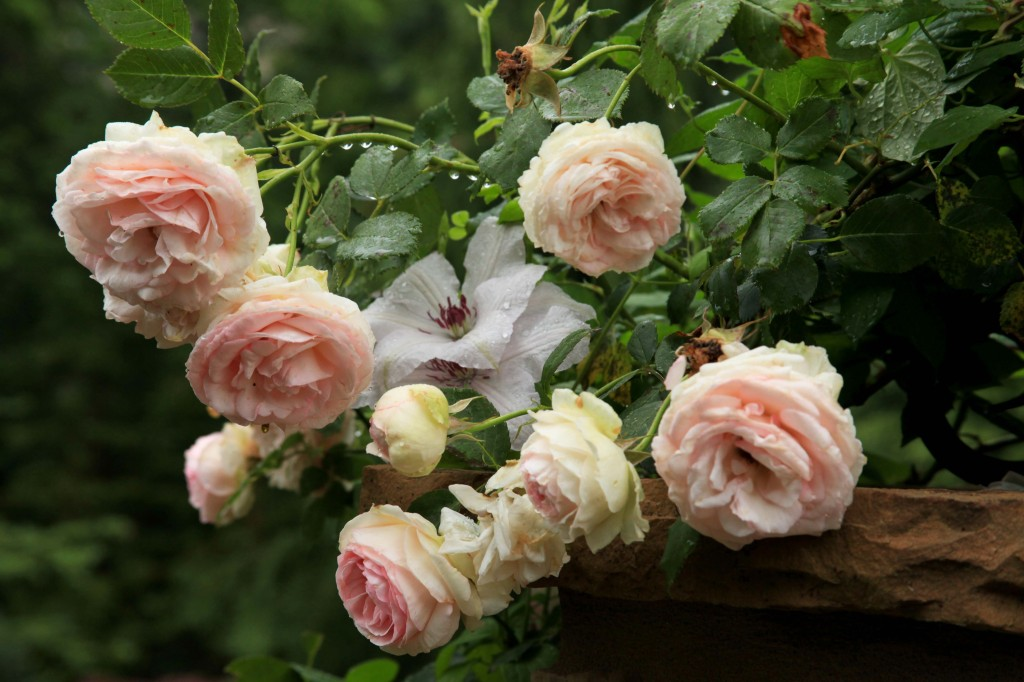 how to know if a rose is a climber