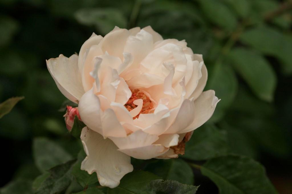 'The Generous Gardener' climbing rose