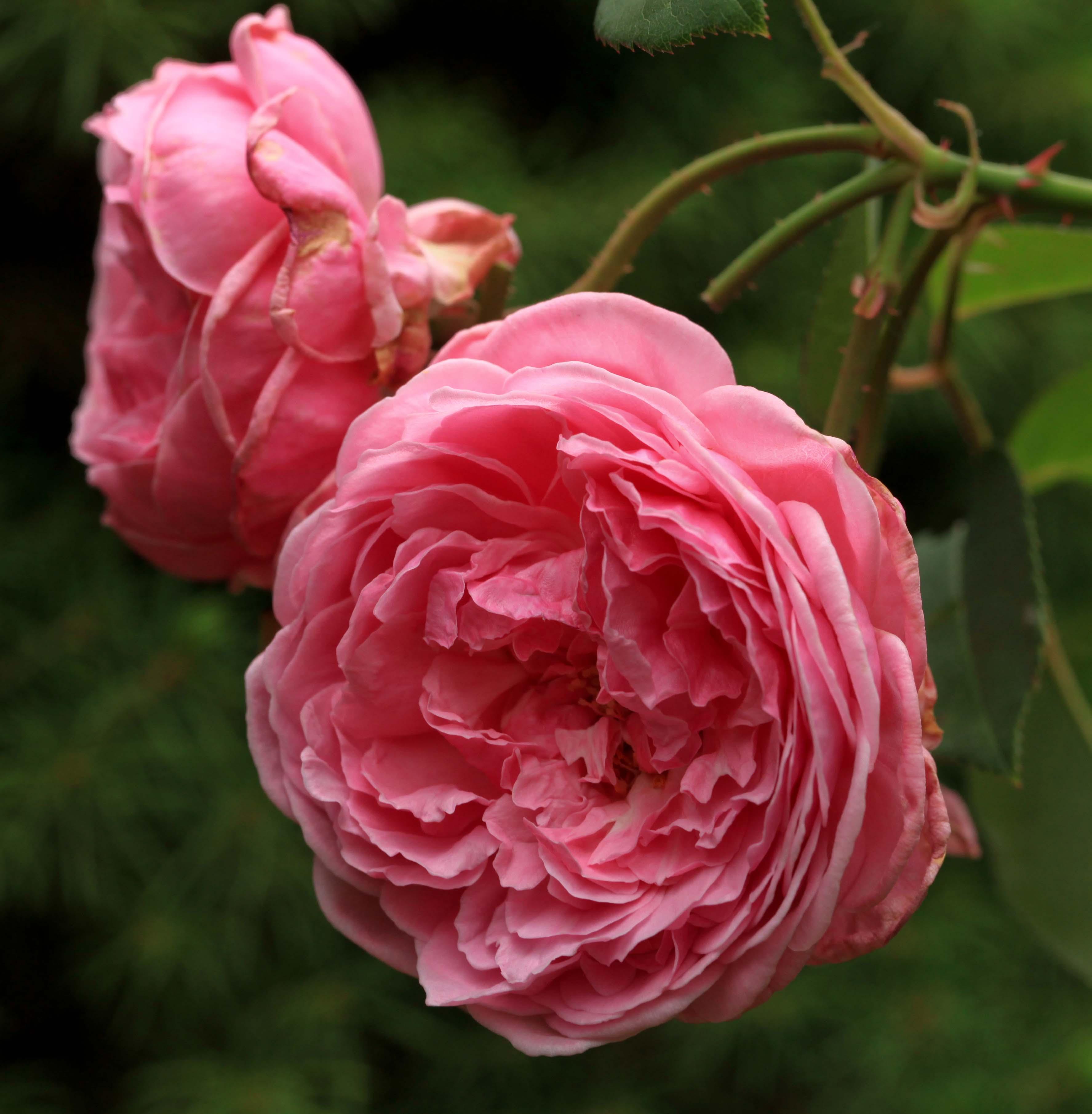 Rose Anglaise Gertrude Jekyll ® ausbord ® duftrose de David Austin 1986