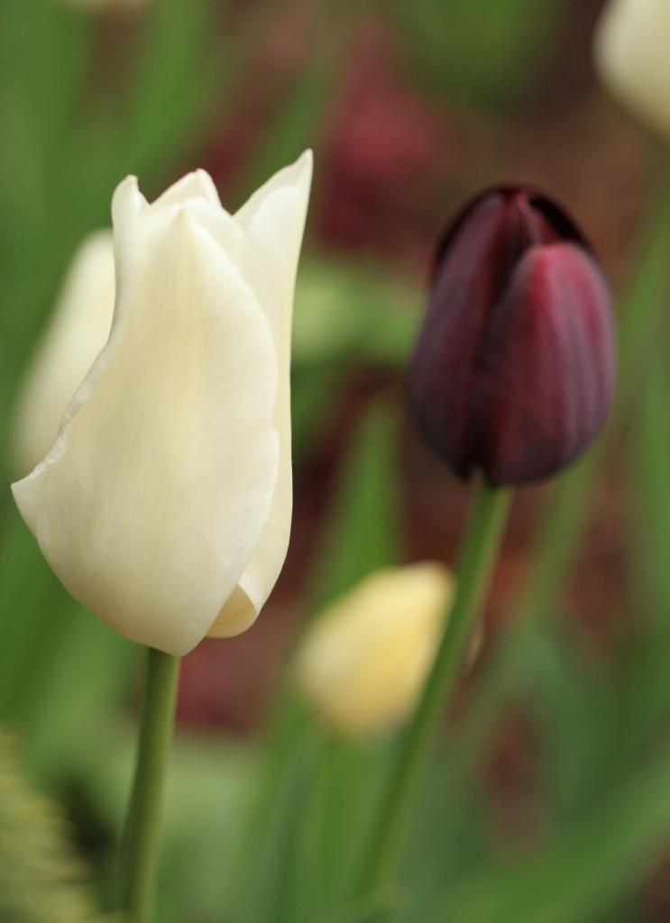 whitepurtulip