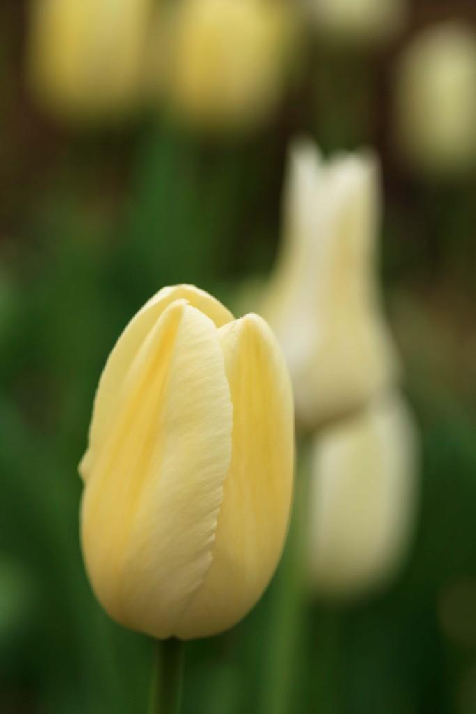 whitetulp