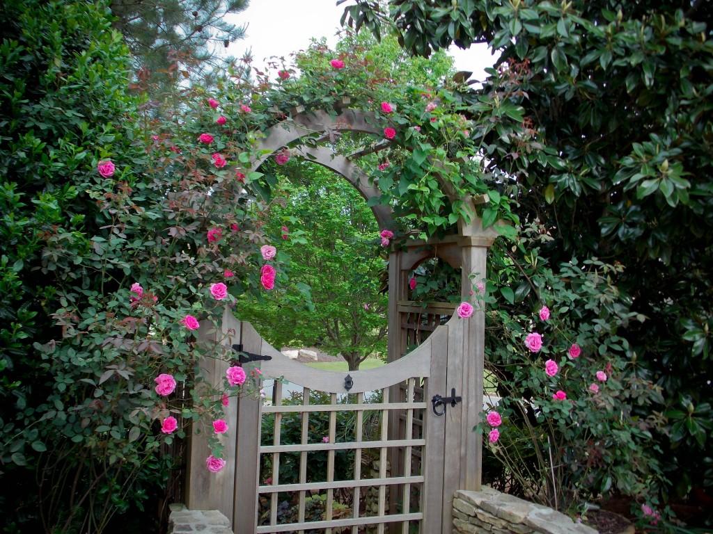 Climbing rose'Zephirine Drouhin'