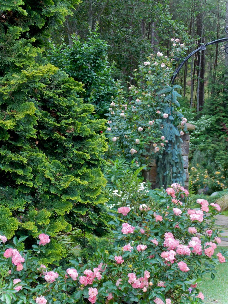 Drift roses and climbing rose 'Lady Ashe'