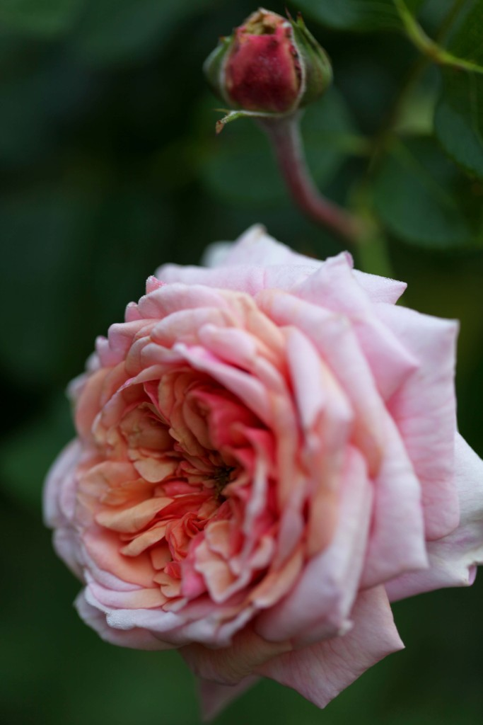 'Evelyn' David Austin rose