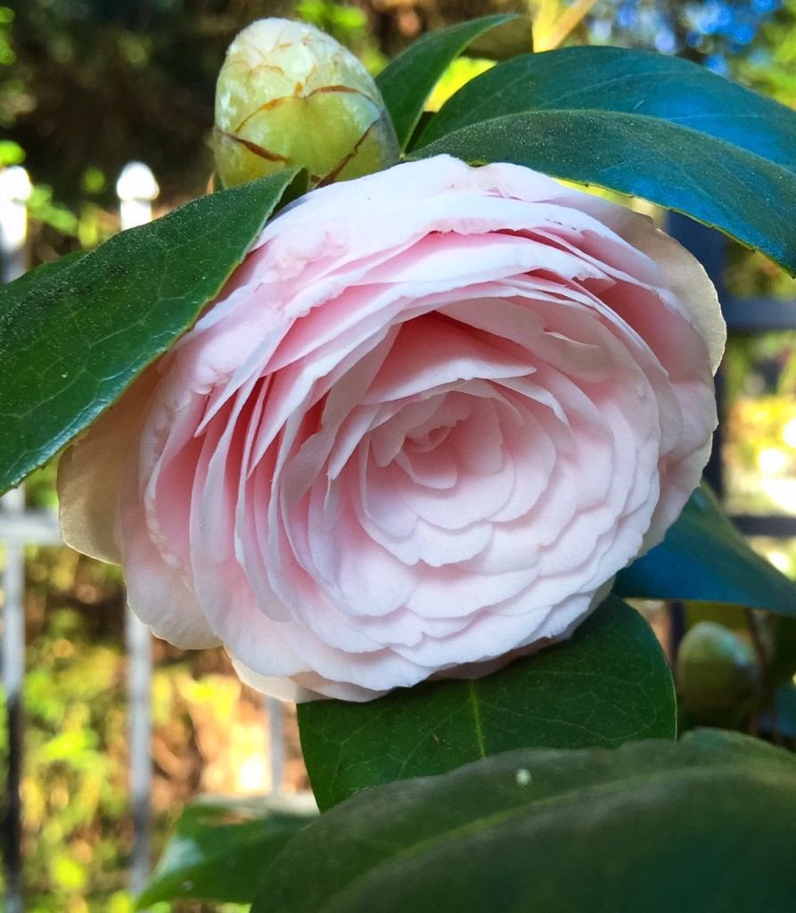 Camellias2
