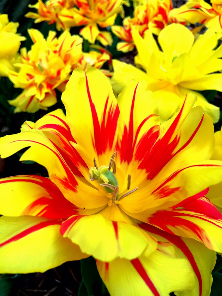 Tulip 'Carmen Rio'