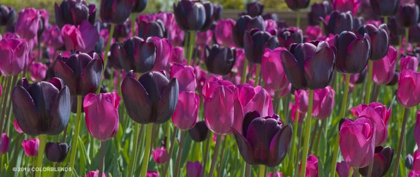 Strike me Pink  Tulips