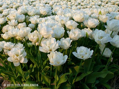 Mount Tacoma Double Tulips