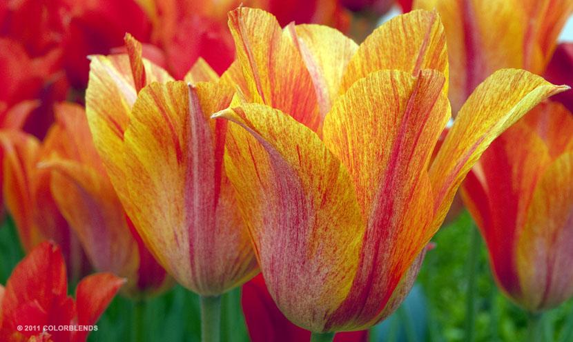 ElNino Tulips