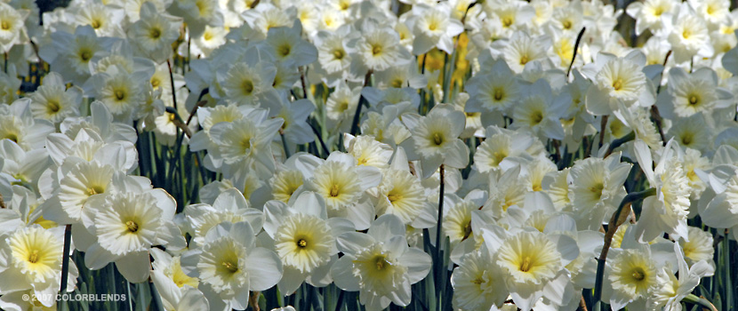 Ice Follies Daffid