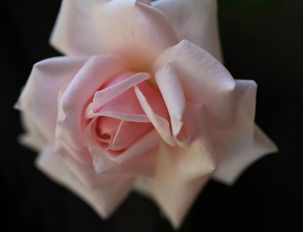 Bourbon rose 'Mystic Beauty'