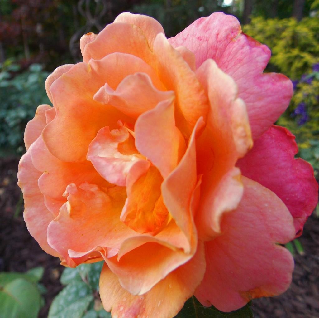 Floribunda rose 'Easy Does It