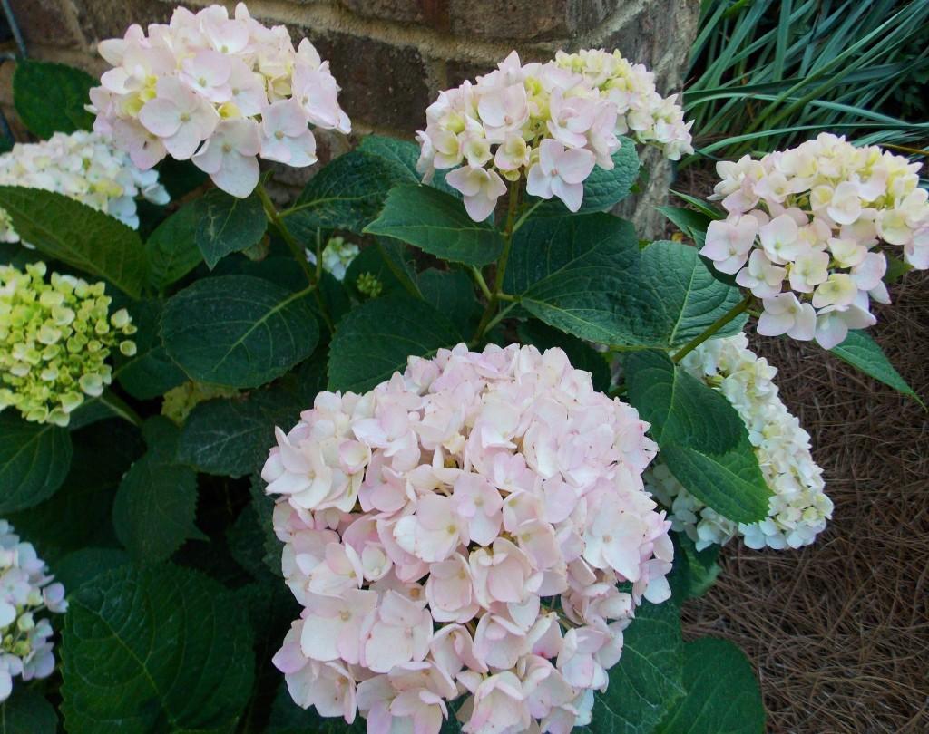 H. macrophylla  'Blushing Bride'